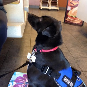 Gabby, service dog